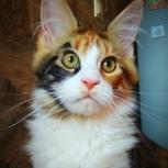 Неповторимая красотка кошка в разведение в шикарной шубе, Краснодар