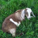 Англо-нубийские козлята, Краснодар