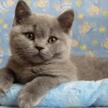 Голубые Британские котята с плюшевой шерсткой, Краснодар