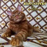 Котёнок мейн кун красный солид. Шоу класс. Питомник, Краснодар