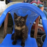 Черепаховая девочка котенок, Краснодар