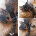 Трехцветный котёнок, Краснодар