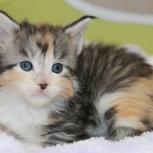 Мейн-куны котята, Краснодар