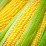Продаем семена кукурузы краснодар, Краснодар