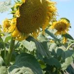 Семена подсолнечника сорта и гибриды, Краснодар