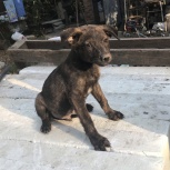 Коричневый щенок, Краснодар