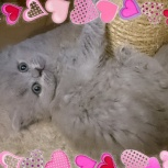 Английские длинношерстные котята (Хайленд), Краснодар