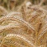 Семена пшеницы полба Янтара, Краснодар