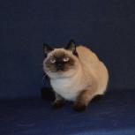 Продаётся шотландский кот, Краснодар