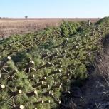 Хвойные деревья сосны оптом, Краснодар