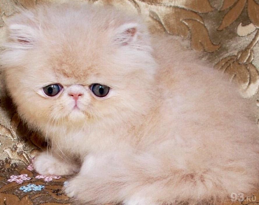 деяких персы котята в краснодаре фото красоты выбрала романтичный